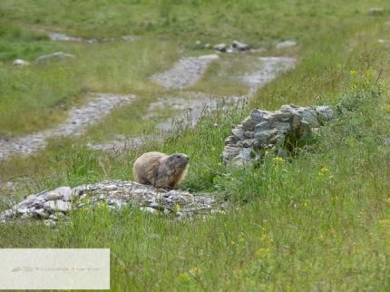 Wenn man ganz leise ist, kann man Murmeltiere gut beobachten.